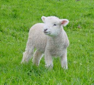 It's a lamb.